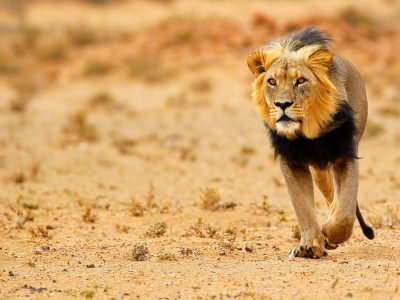 nws-st-botswana-black-maned-lion-kalahari