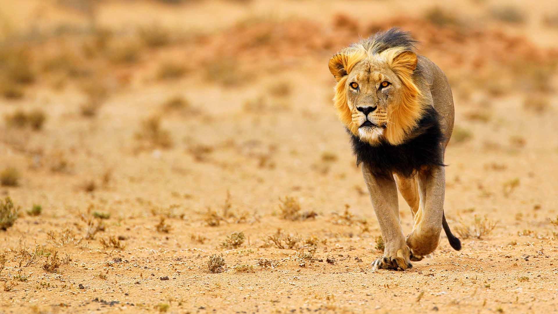 nws-st-botswana-black-maned-lion-kalahari